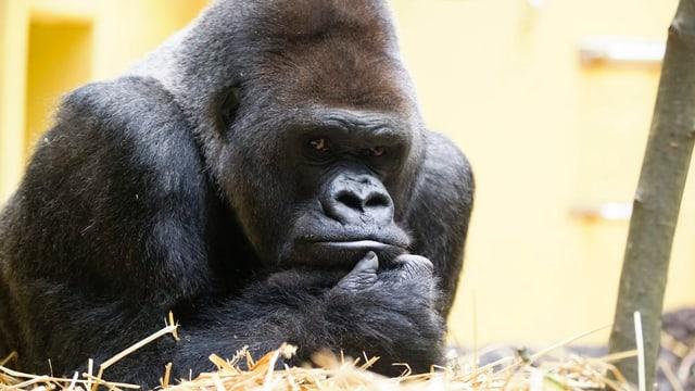 Gorilla-Chef N'Gola