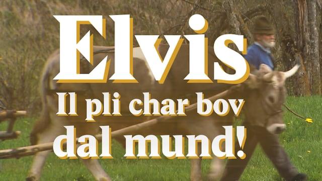 Laschar ir video «Elvis - il pli char bov dal mund!»
