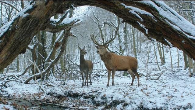 Eine Szene aus On Body and Soul: zwei Hirsche in einem verschneiten Wald.