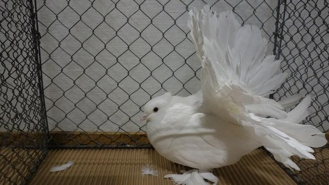 """Quella colomba sumiglia ad in pavun, ed ha era num """"Pfautaube""""."""