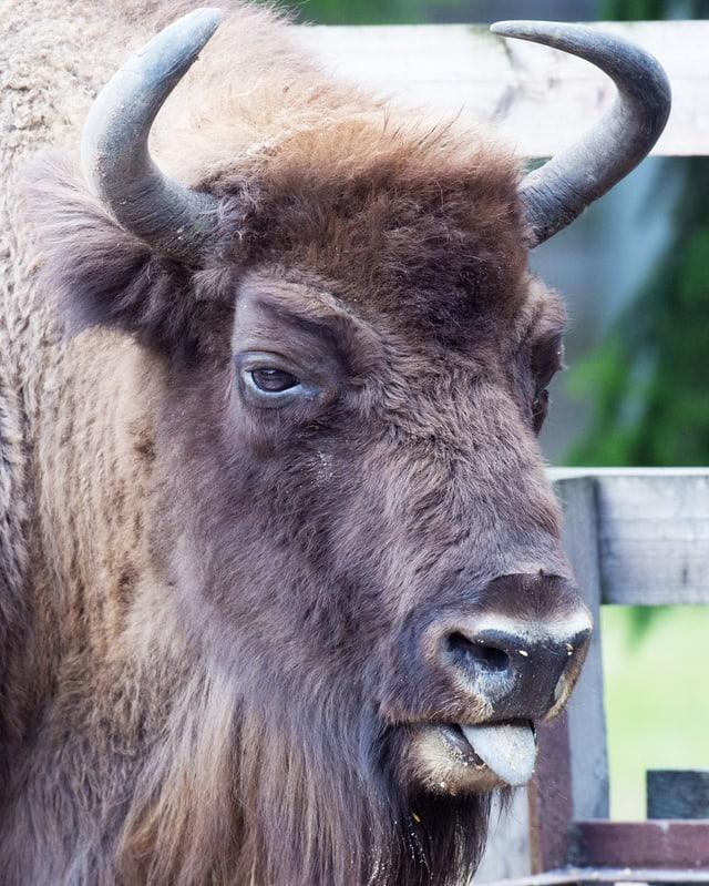 Grosser Rinder-Kopf mit Hörnern.
