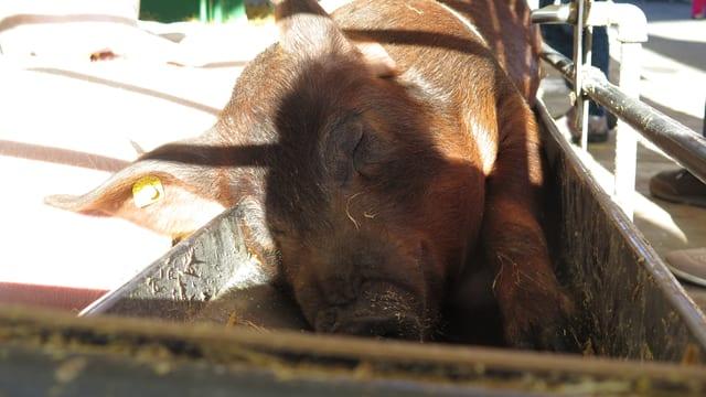 Ein Schwein schläft im Fresstrog.