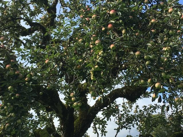 Reich behangener Apfelbaum