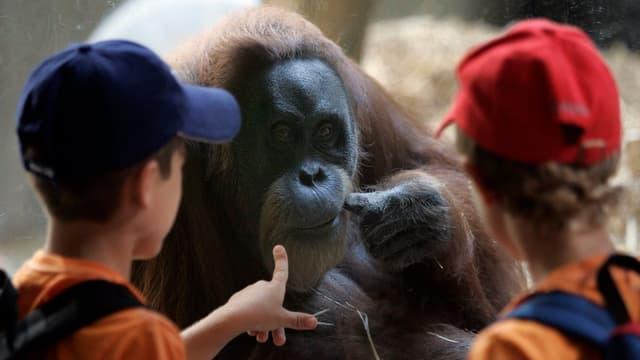 Zwei Kinder betrachten einen Orang Utan.