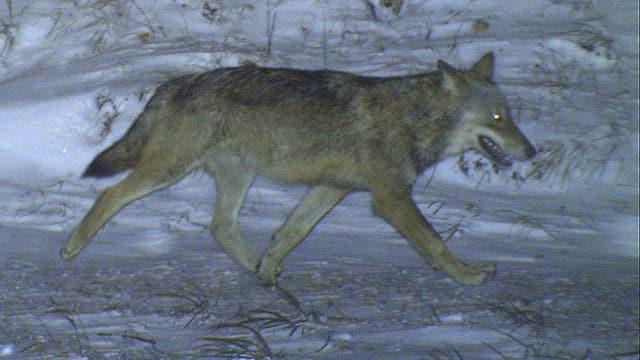 Wolf im Dunkeln