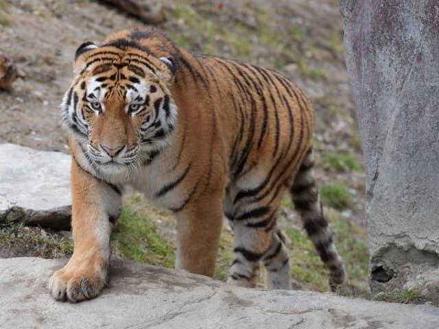 Tiger-Männchen Sayan streift durch sein neues Gehege im Zoo Zürich.