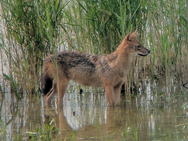 Ein Goldschakal lief am letzten Donnerstag einem Ornithologe im Linthgebiet vor die Linse.