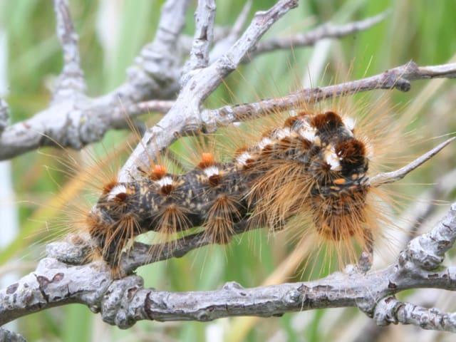 Die Raupe ist grauschwarz und hat braune, lange Haare.