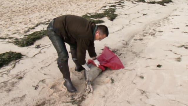 Mann packt toter Seehund in einen Sack.