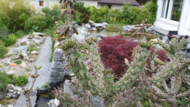 Stacheln am Kaktus