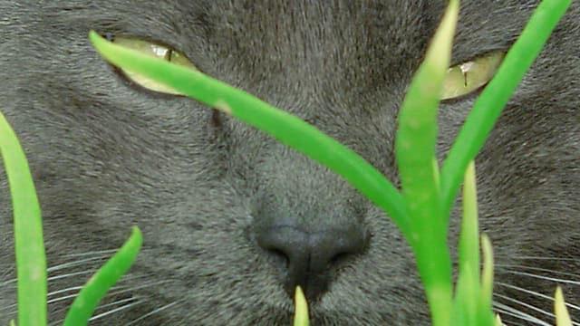 Gesicht einer Katze, die im Gras liegt