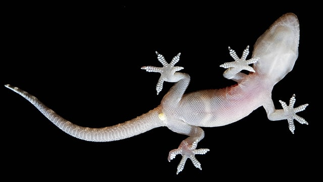 Halbfingergecko klettert an einer Glasscheibe