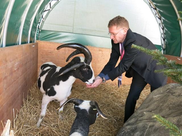 Christoph Neuhaus füttert seine vierhornigen Schafsbock.