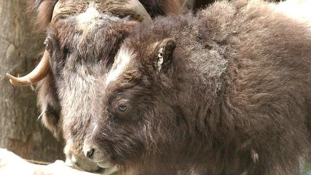Zwei Moschusochsen im Tierparkt Dählhölzli