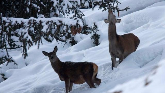 Hirschkühe im Schnee