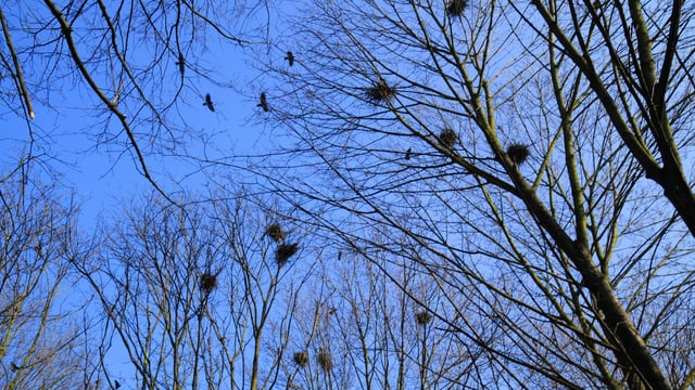 Saatkrähen-Nester in den Bäumen