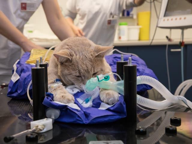 Kater Rocky auf dem Bestrahlungstisch - Schläuche schauen aus seinem Maul.