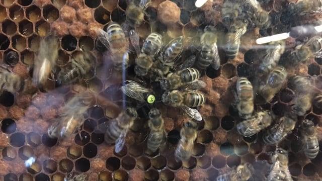 Ein Haufen bienen fliegt herum bei ihrer Wabe. Sie schlagen wild mit den Flügeln.