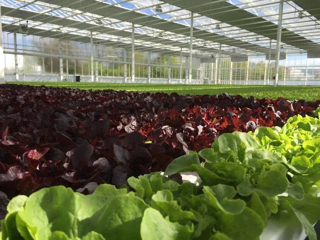 Grüne und rote Kopfsalate wachsen in einer grossen Glashalle.