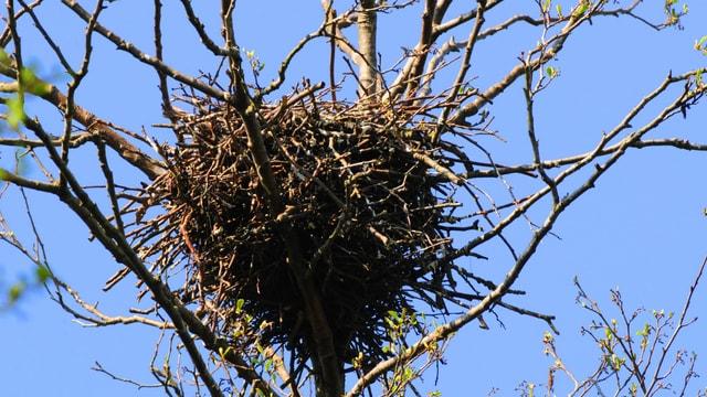 Nahaufnahme eines Krähennests im Baum