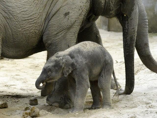 Ein kleiner Elefant steht im Sand.