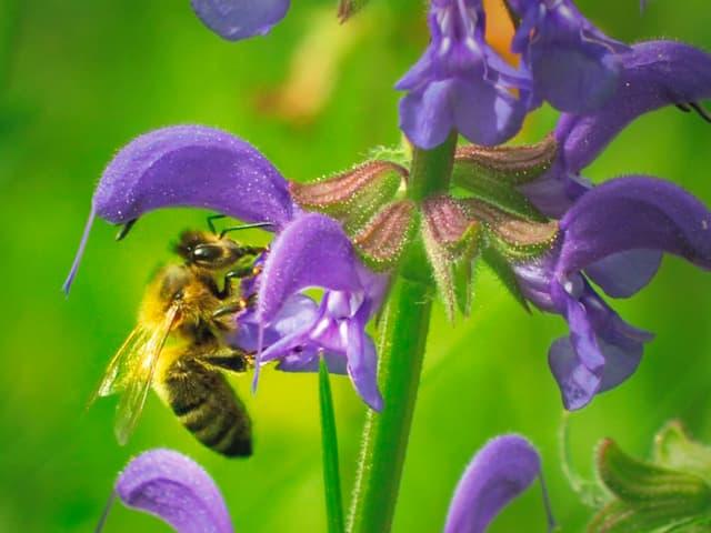 Streitobjekt: Wissenschaftler streiten sich über die Ursachen des Bienensterbens.