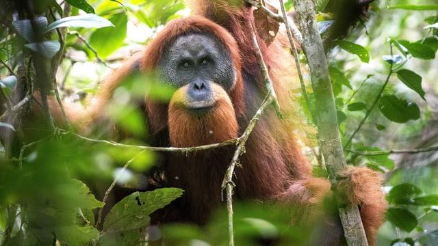 Ein Orang-Utan-Männchen.