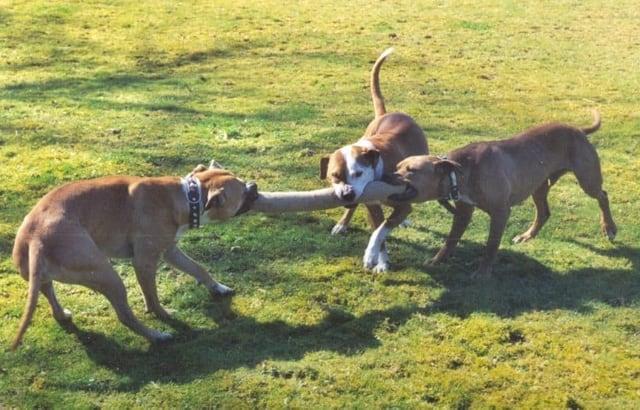 Drei Pit Bull Terrier beim Spielen
