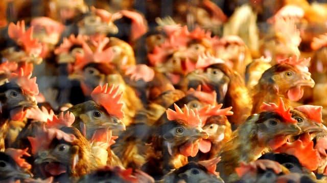 Das Bild zeigt aneinander gedrängte Hühner.