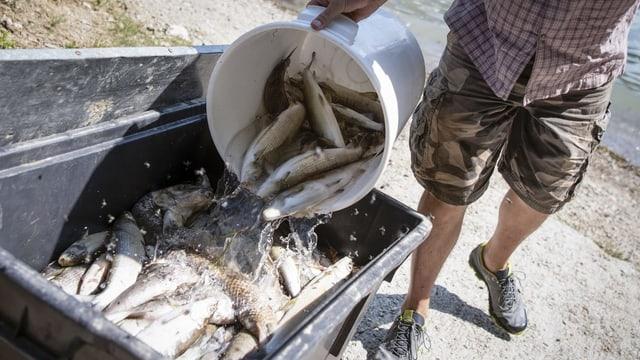 Tote Fische werden in einer Entsorgungstonne gesammelt.