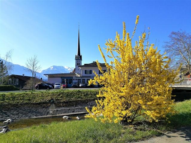 Eine gelb blühende Forsythie im Park, dahinter eine Kirche, es herrscht wolkenloses Wetter.