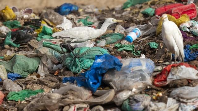 Cign en il rument da plastic