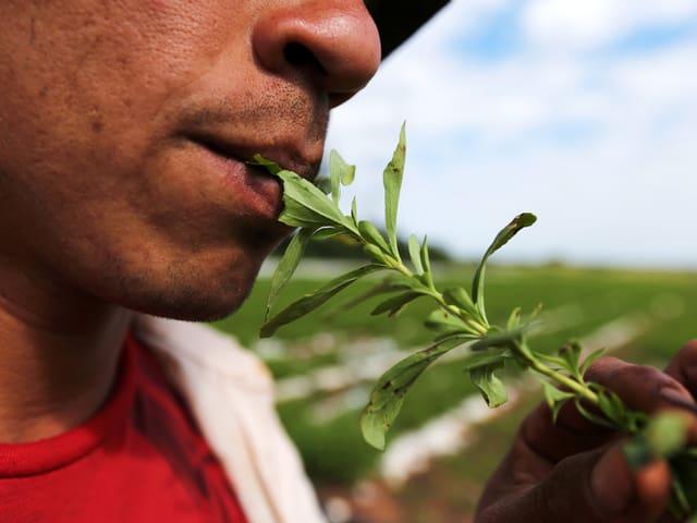 Ein Bauer kostet die süssen Stevia-Blätter.
