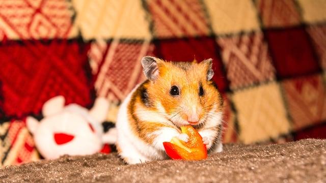 Ein Hamster auf einem Sofa knabbert an einer Scheibe Rüebli.