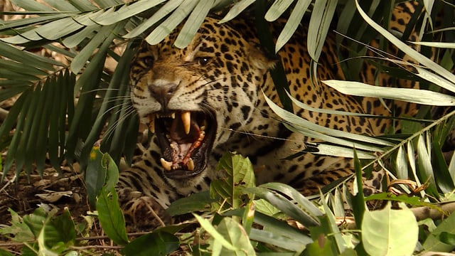 Ein Jaguar