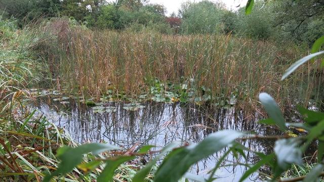 Biotop mit Farn und Seerosen-Blättern.