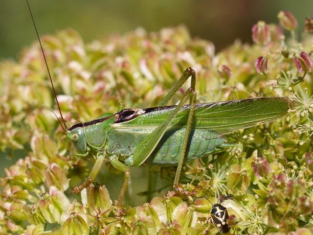 Eine grüne, grosse Heuschrecke steht in einem Blumenfeld. Sie hat sehr lange Fühler.