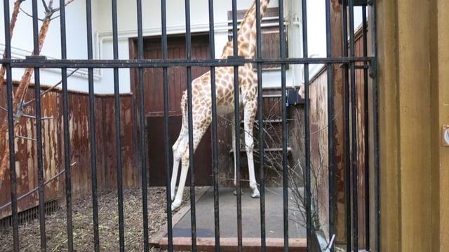 Giraffe auf der Waage. Kopf abgeschnitten. Kein Platz auf Foto.