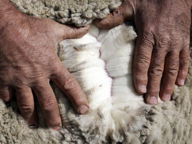 Ein Schafzüchter zeigt das weisse Vliess eines Merino-Schafs unter der Deckschicht.