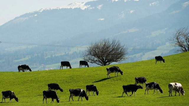 Kühe weiden in Bulle (FR)