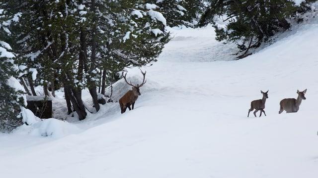 Ein Hirschstier und zwei Hirschkühe in einer winterlichen Landschaft.