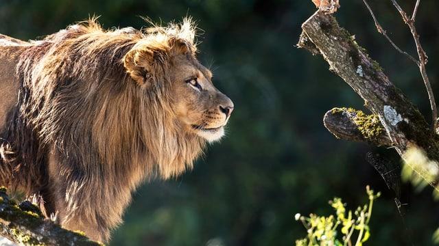 Seit kurzem leben im Walter Zoo wieder Löwen.
