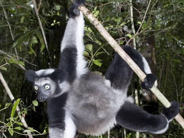 Indri baumelt in einem Baum.