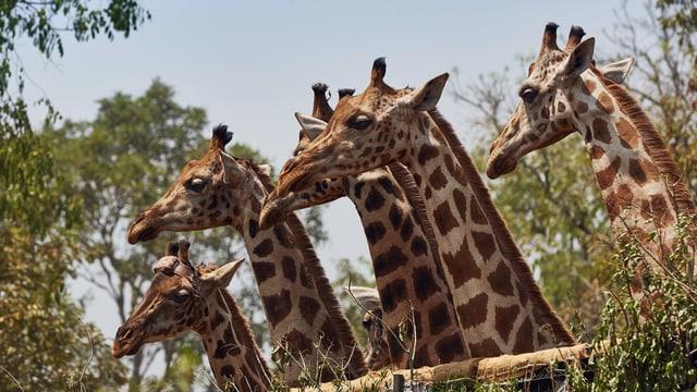 Video «Giraffen - Freundliche Giganten in Gefahr» abspielen