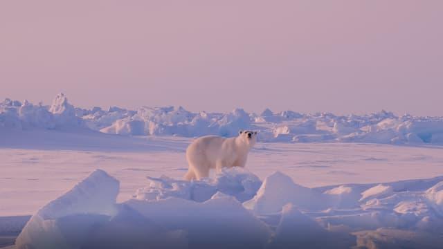 Der Eisbär versucht herauszufinden, was er in der Luft schnuppert