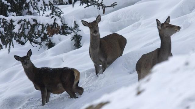 Drei Hirschkühe auf Futtersuche im Schnee