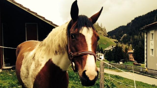 Weissbraune Pferd
