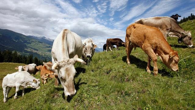 Kühe auf der Alp am Weiden.