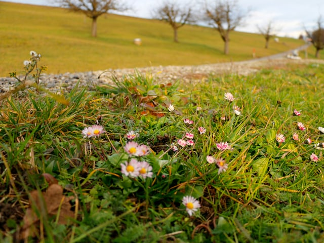 """Ein paar """"Margritli"""" im grünen Gras."""