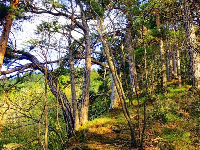 Viel Moos am Boden, wenige knorrige Bäume.